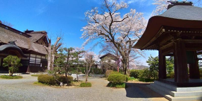 広徳寺の境内に咲く桜