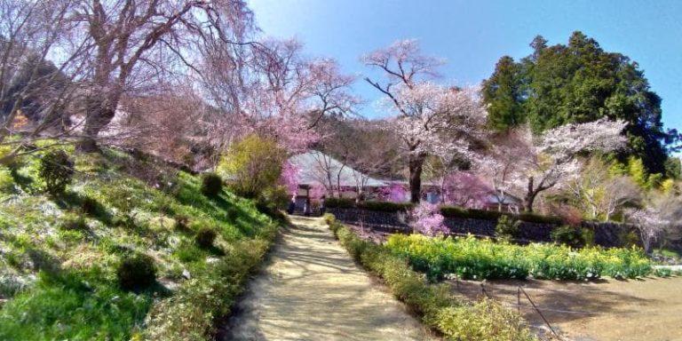 龍殊院に桜が咲き誇る様子
