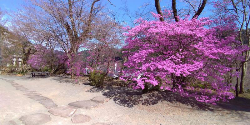 龍殊院のピンクの花