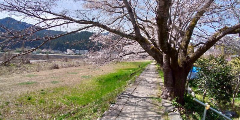 秋川沿いの桜並木を歩く様子