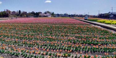手前にオレンジ、後ろにピンク、右手に菜の花