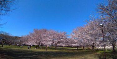 武蔵国分寺跡の広い芝生に並ぶ桜