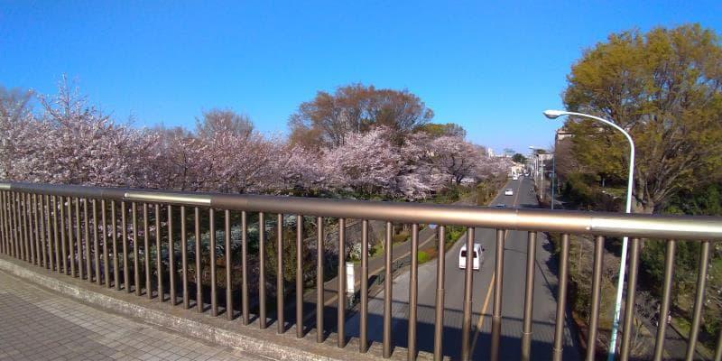 都立武蔵国分寺公園の橋から眺めた桜