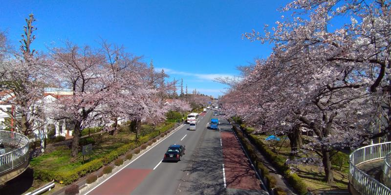 歩道橋から眺めた国立の桜並木