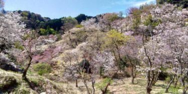 咲き競う多摩森林科学園の桜