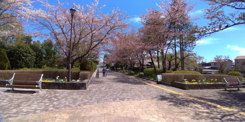 陵南公園の桜が見頃を過ぎた様子