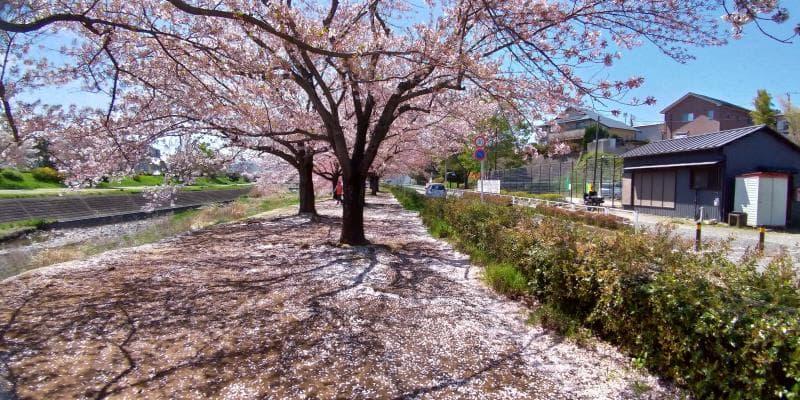 桜の花びらが積もって白くなった道