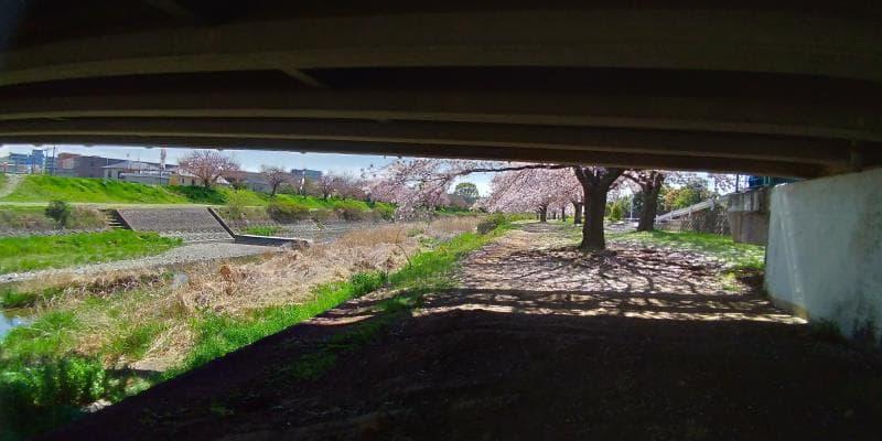 橋の下から桜並木を眺める