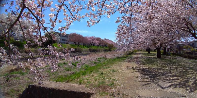 桜越しに見る学校
