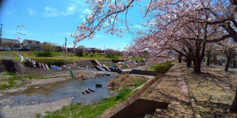 対岸から見た桜と鯉のぼり