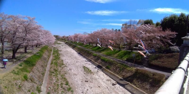 南浅川橋から見た桜並木と鯉のぼり