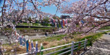 手間には桜の枝、その奥を泳ぐ鯉のぼり