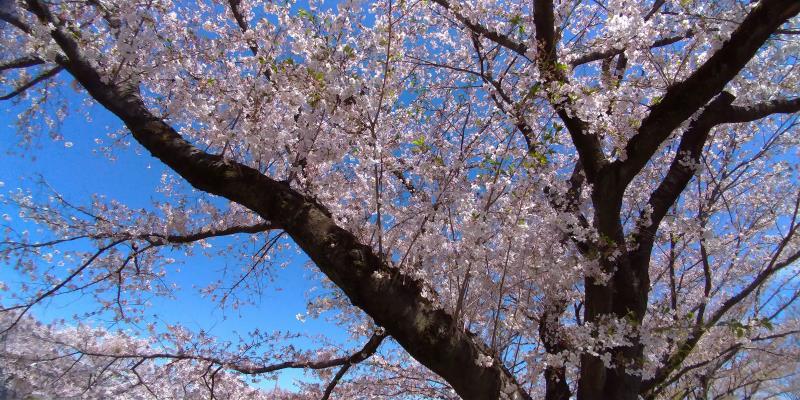 南浅川の桜を下から眺めた様子