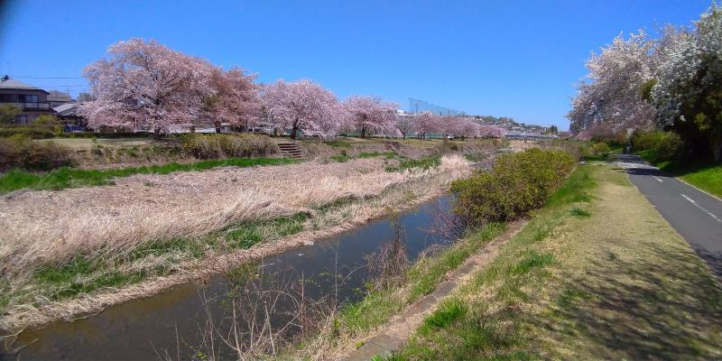 両岸ともに植わっている桜