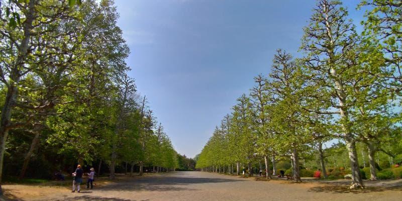 整然と左右に並んだプラタナスの並木