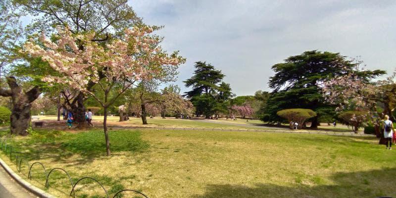 葉桜となった牡丹桜