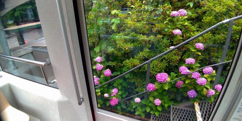 モノレール車窓から眺めるピンク色のアジサイ