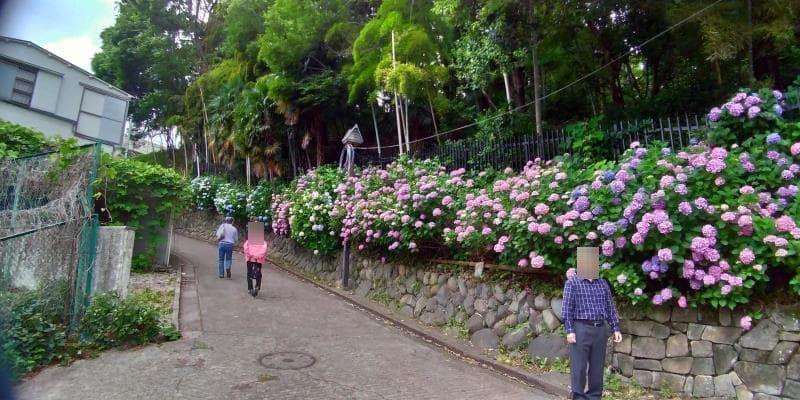 ピンクや紫のアジサイの咲く坂