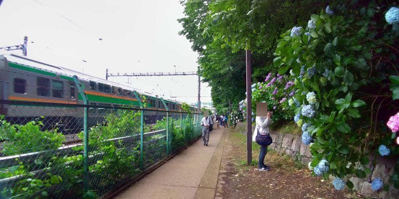 アジサイの小道の隣を走るJRの電車