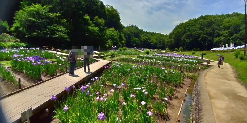園路と木道が並走する菖蒲園