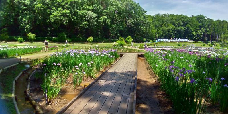 木道の両側に咲く菖蒲