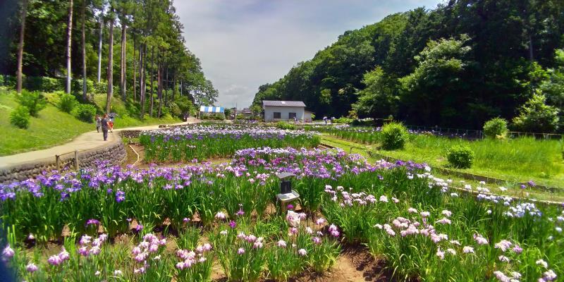 白、濃い紫、薄い紫の菖蒲が咲き誇る菖蒲園入口付近