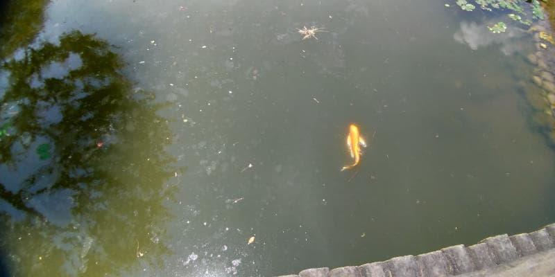池を泳ぐ金色に輝くコイ