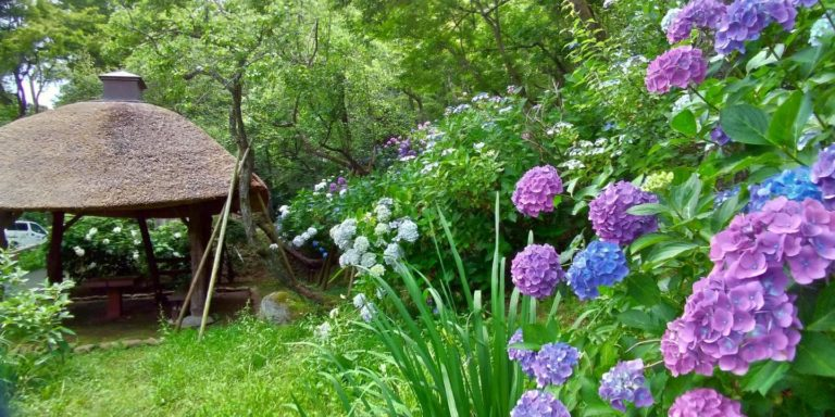 茅葺の東屋と、近くに咲く紫と青のアジサイ