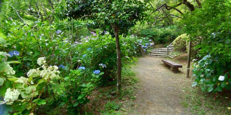 アジサイ咲く園内通路のベンチ