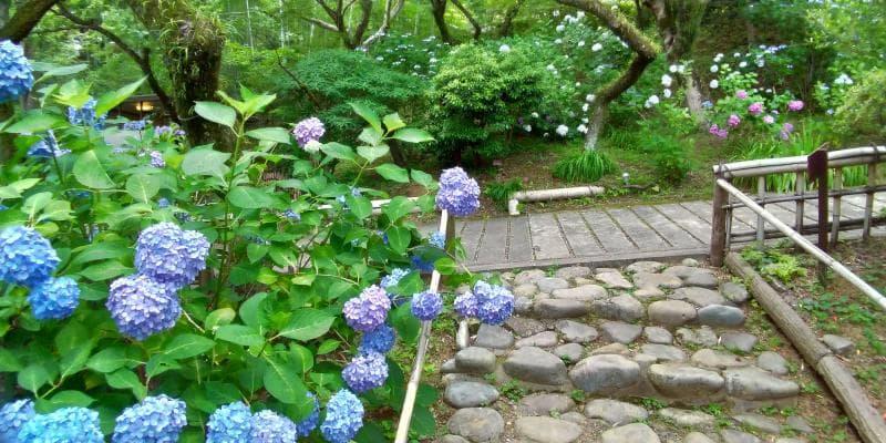 百草園の青いアジサイ