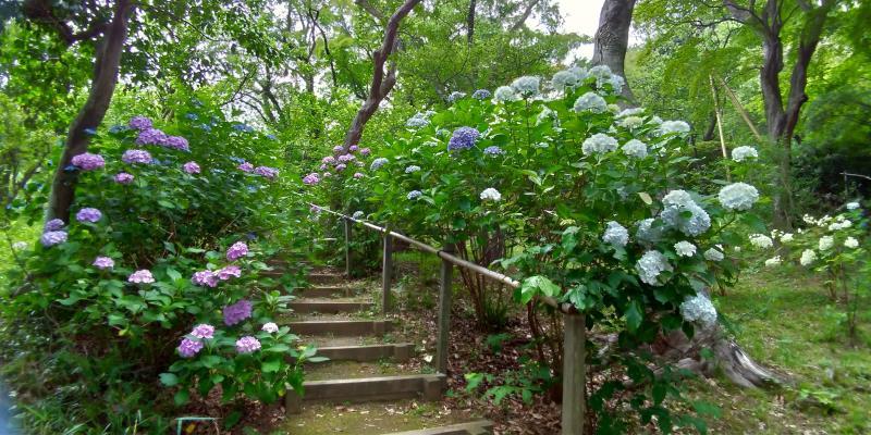階段の両側に咲くアジサイ
