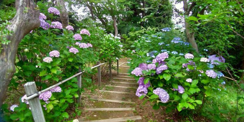 百草園の薄紫のアジサイ