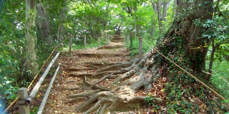 幾筋も木の根が張って盛り上がった散策路