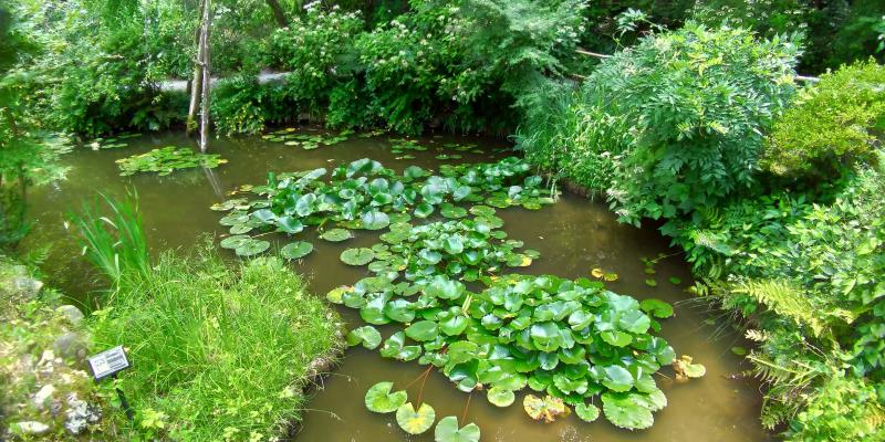 蓮が浮かぶ透明度は高くない池