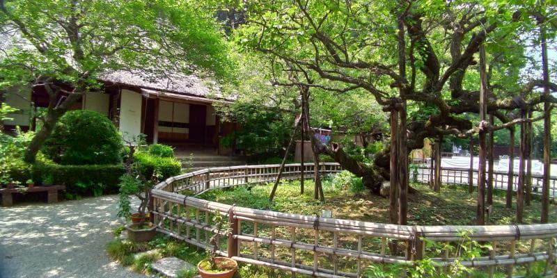 茅葺屋根の建築物の前の古木の新緑