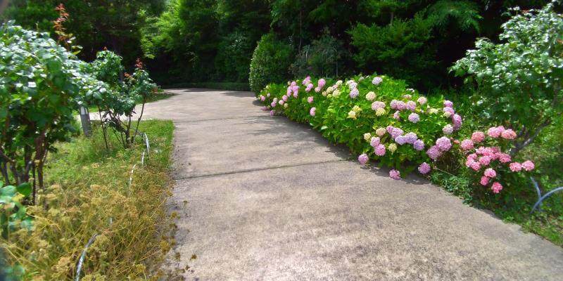 紫やピンクの紫陽花が咲く小径