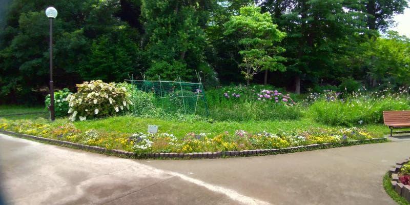 園路にぽつりぽつりと咲くアジサイ