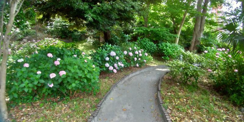 アジサイがひっそり咲く林の小径