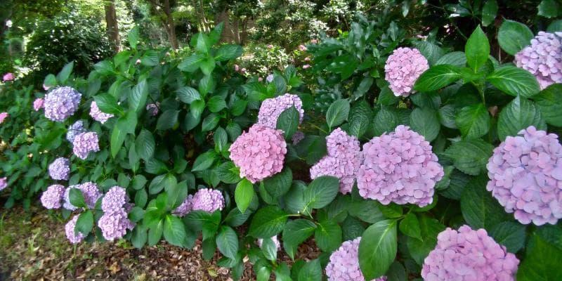 紫のアジサイが見頃の芝公園