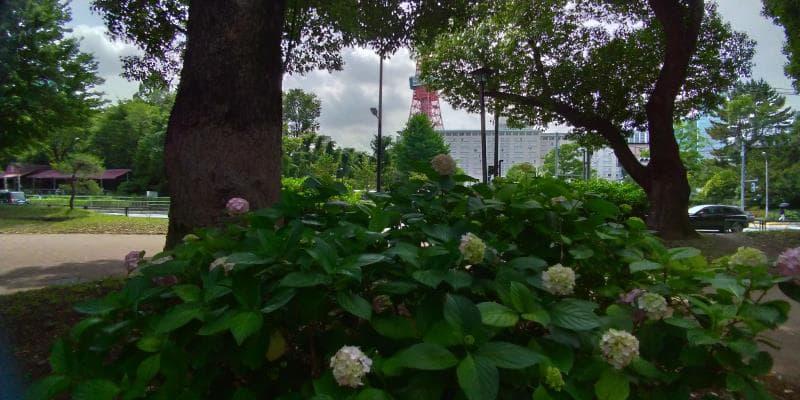 木々に隠れてあまり見えない東京タワーとアジサイ