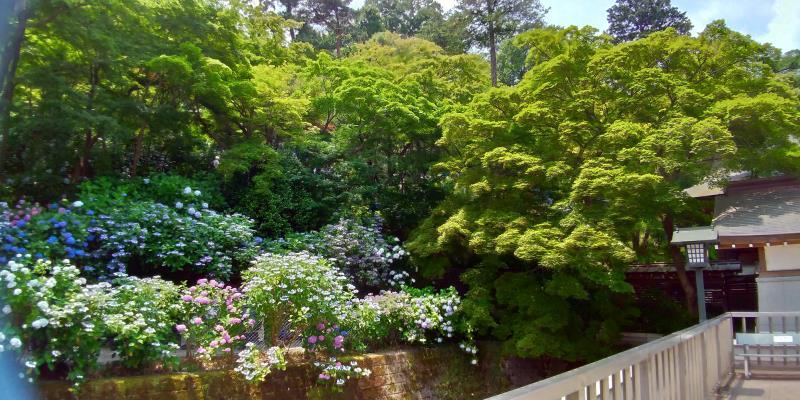 こんもりとした新緑とその下に咲くアジサイ
