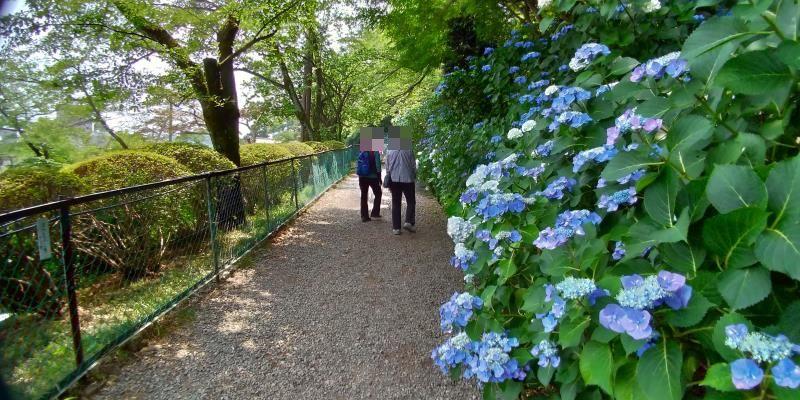 高幡不動尊金剛寺の鮮やかなブルーのガクアジサイを横目に歩く