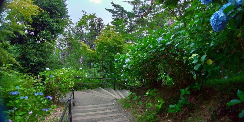 曲がって続く階段沿いに咲くアジサイ