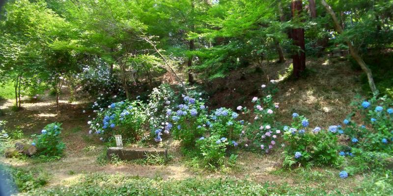 斜面の下に咲くアジサイ