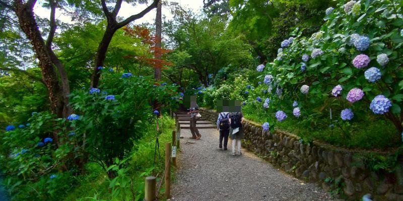 アジサイ咲く小道で写真を撮る人