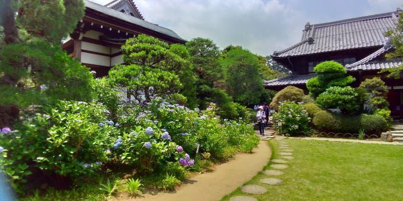 アジサイ咲く高幡不動尊金剛寺の茶庭