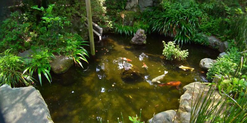 池の中を泳ぐ白、赤、黄色のコイ